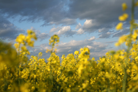 rappi: view of flowering field of rapeseed.Plant for green energy and oil industry