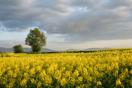 flowering field: view of flowering field of rapeseed.Plant for green energy and oil industry