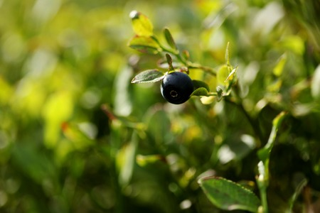 superfruit: Bush of berry in the summer forest Stock Photo