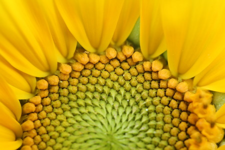girasol: primer plano de un girasol hermoso
