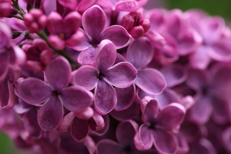 branch with spring lilac flowers