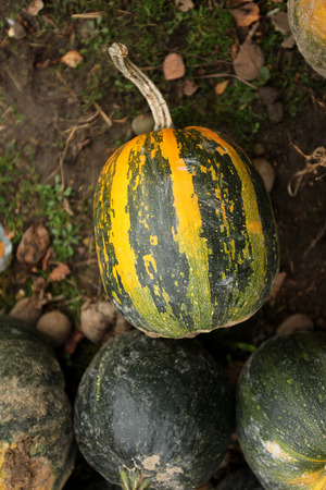 stack of ripe pumpkins in the farm