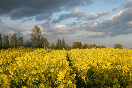 view of flowering field of rapeseed.Plant for green energy and oil industry