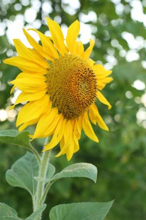 close-up of a beautiful sunflower in a field 免版税图像
