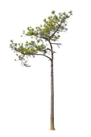 pinaceae: pine on white background