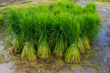 paddy fields: Seedlings in paddy fields