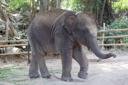 asiatic: baby Asiatic elephant