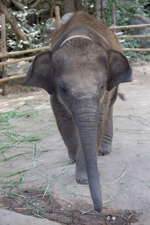 front view: baby Asian elephant front view