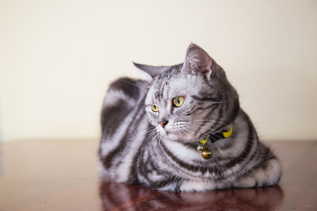 crouch: american short hair cat crouch on  wood floor Stock Photo