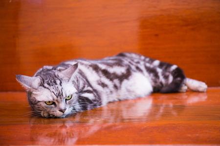 crouch: american shorthair cat crouch on wood floor