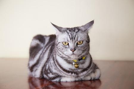 on wood floor: american shorthair cat crouch on wood floor