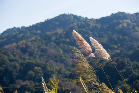 plentifully: thicket flower and mountain background in Thailand