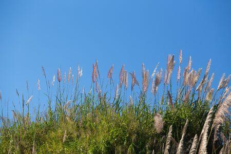 sorgo: flor grupo matorral en la montaña junto a una carretera en Tailandia