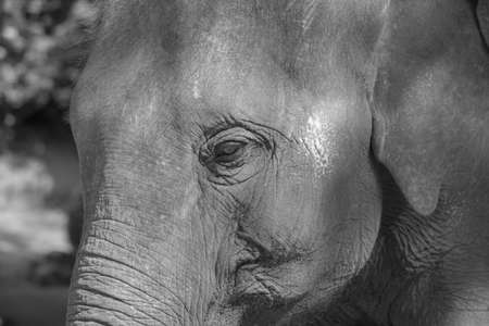 monotone: close up Asian elephant face in monotone Stock Photo