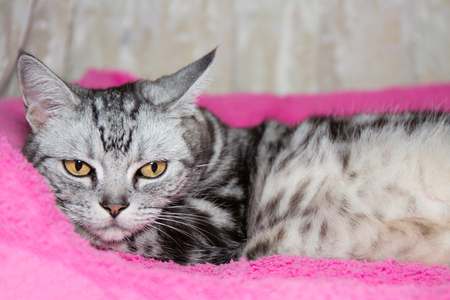 crouch: American Shorthair cat crouch on pink bed