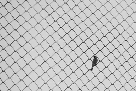monotone: minimalist of sparrow bird hold on metal screen in monotone Stock Photo