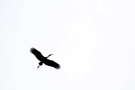 anastomus: minimalism silhouette Asian openbill bird flying on the sky in black and white