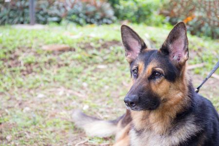 kampfhund: Schäferhund in Polizei-K-9-Einheit Porträt mit Gras Feld Hintergrund