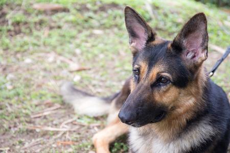 k9: german sheperd dog in police k-9 unit wait for bomb search