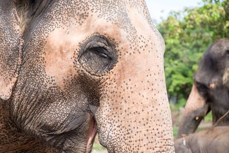 close up elder Asiatic elephant face with spot and wrinkle skin Stock Photo