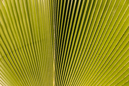 close up of green palm leaf for texture and background