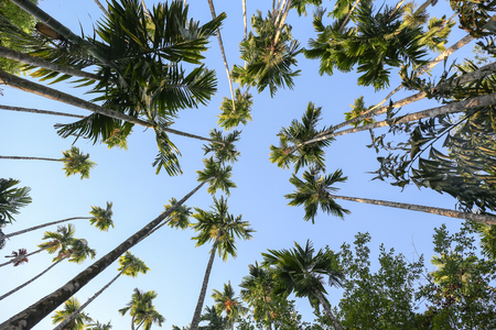 bottom view of betel palm tree with sky background