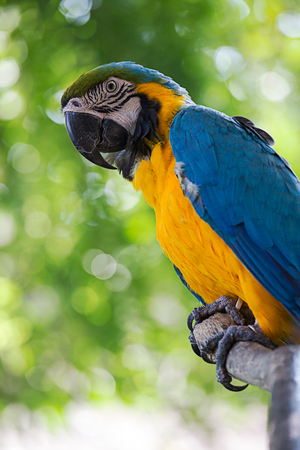 portrait colorful of blue macaw parrot bird in nature with copy space