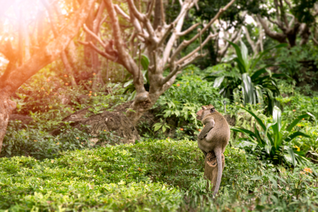 single monkey sit on stump in Thailand tropical forest with flare and copy space