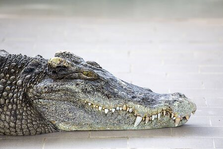 portrait siamese crocodile head and teeth isolated with copy space Imagens