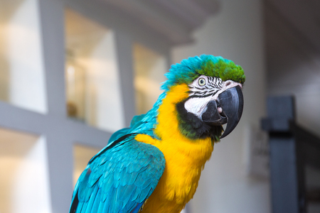 Blue and yellow colorful macaw parrot portrait Imagens