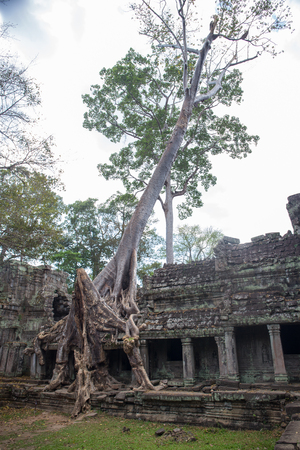 Big tree root combine with ancient stone balcony at Preah Khan the stone temple in Angkor , Siem Reap , Cambodia