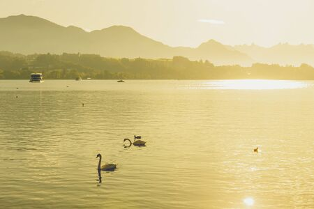 Silhouette white swan on Luzern lake with sightseeing vessel and mount Rigi background in Switzerland in summer and sunrise reflect