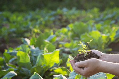 csr: Soil cultivated dirt, earth, ground, agriculture land background Nurturing baby plant on hand,Organic gardening, agriculture. Nature closeup and selective focus.