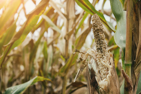 problem agriculture issues corn is a sear.