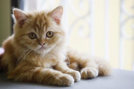 Selective baby Persian cat.