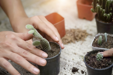 Cropped shot agriculture propagate and reproducing baby cactus on pot.