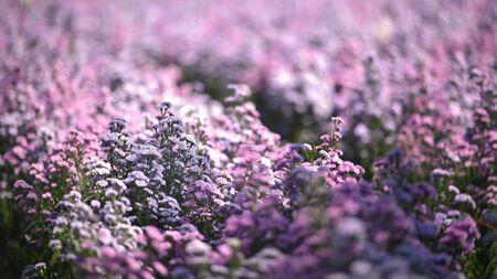 Violet Margaret flower field background.