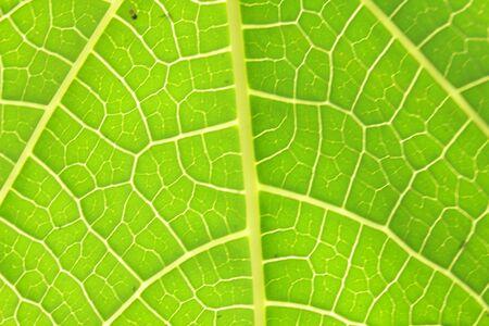 veins: YELLOW VEINS ON GREEN LEAF Stock Photo