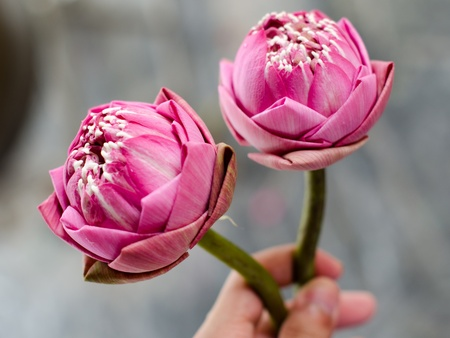 2 pink lotus with fold petal for offer sacrifice Stock Photo - 17331719