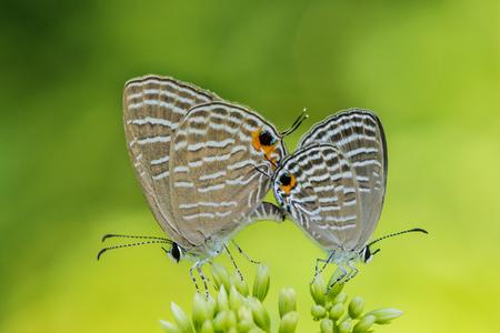 dark cerulean butterfly pair Stock fotó