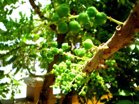 grosella: Grosella espinosa india