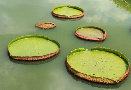 green Leaf lotus Stock Photo