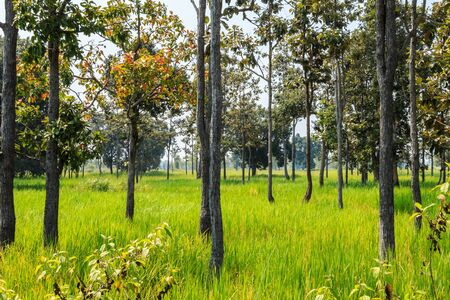 the tree in the rice farm