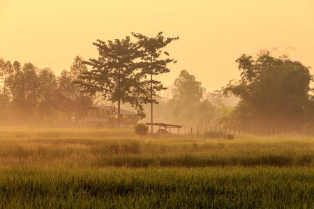 a hut in the rice farm at moring