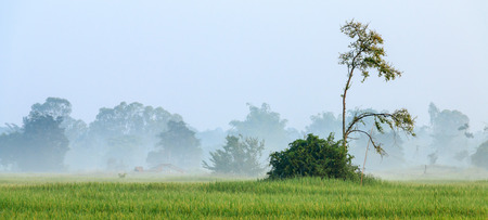 cloud   tree in the rice farm at the morning