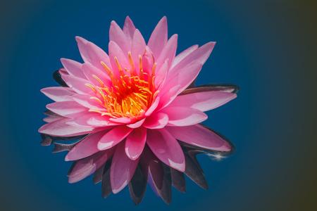 Pink lotus flower water in full bloom