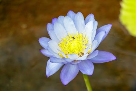 Purple lotus flower water in full bloom with bug