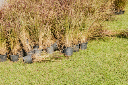 Preparation Vetiver Grass in potted Stock Photo
