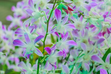 purple  Dendrobium orchid in full bloom Stock Photo