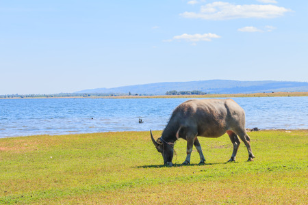 thai buffalo eating grass at lakeside